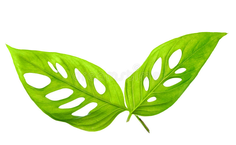 Όμορφα νέα πράσινα φύλλα VAR monstera expilata που απομονώνεται στοκ φωτογραφίες