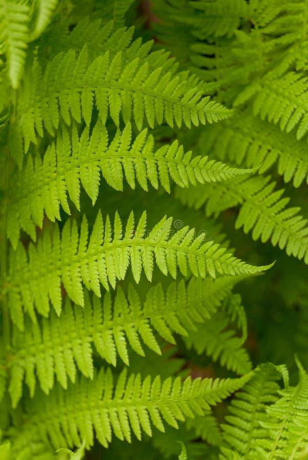Όμορφα νέα φύλλα φτερών, πράσινο φύλλωμα, φυσικό floral υπόβαθρο στοκ εικόνες