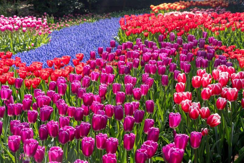 Όμορφα ολλανδικά λουλούδια στοκ φωτογραφία με δικαίωμα ελεύθερης χρήσης