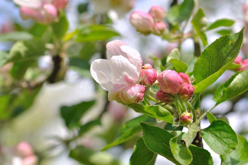 Όμορφα λουλούδια ενός δέντρου μηλιάς στοκ εικόνες