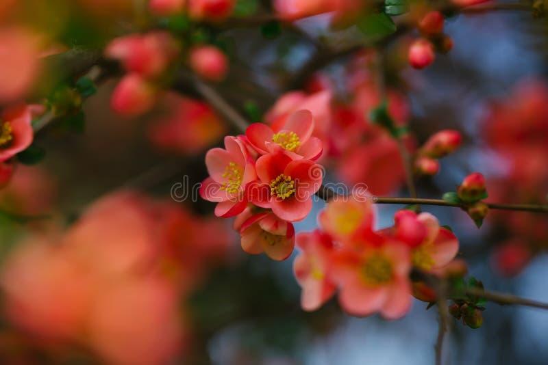 Όμορφα λουλούδια κυδωνιών στοκ εικόνα με δικαίωμα ελεύθερης χρήσης