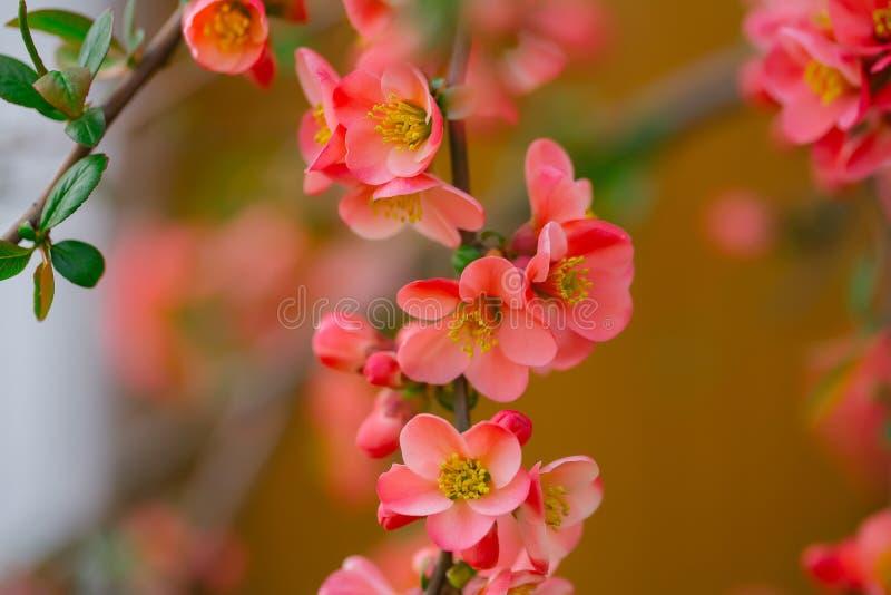 Όμορφα λουλούδια κυδωνιών στοκ εικόνα