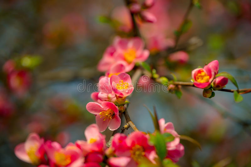 Όμορφα λουλούδια κυδωνιών στοκ φωτογραφία με δικαίωμα ελεύθερης χρήσης
