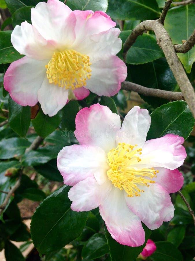 όμορφα λουλούδια μαλακ στοκ εικόνες