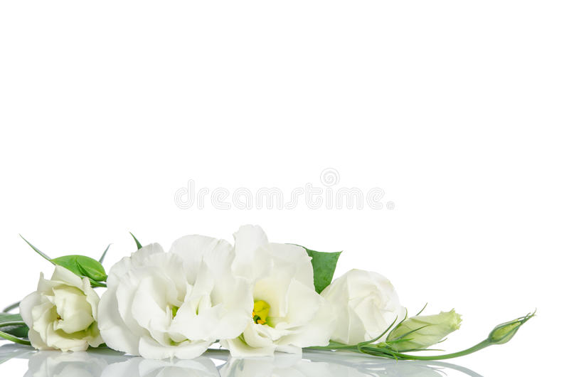 Όμορφα λουλούδια eustoma στοκ εικόνες με δικαίωμα ελεύθερης χρήσης