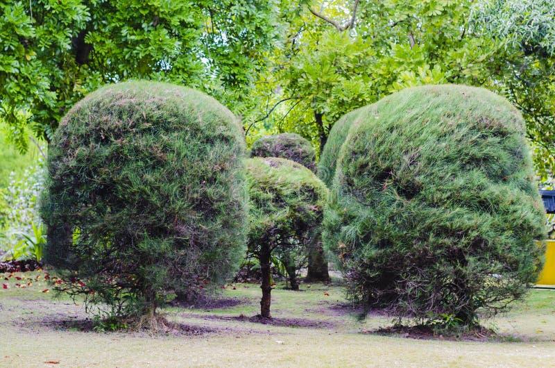 Όμορφα πεύκα που αποκόπτουν της στρογγυλής μορφής σε έναν κήπο στοκ εικόνες με δικαίωμα ελεύθερης χρήσης
