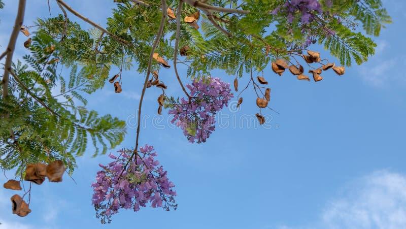 Όμορφα πορφυρά λουλούδια του τροπικού δέντρου ανθών Jacaranda στο μπλε ουρανό στοκ φωτογραφίες