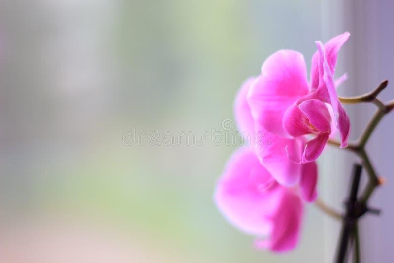 Όμορφα πορφυρά λουλούδια phalaenopsis ορχιδεών orchid λουλουδιών στοκ εικόνα