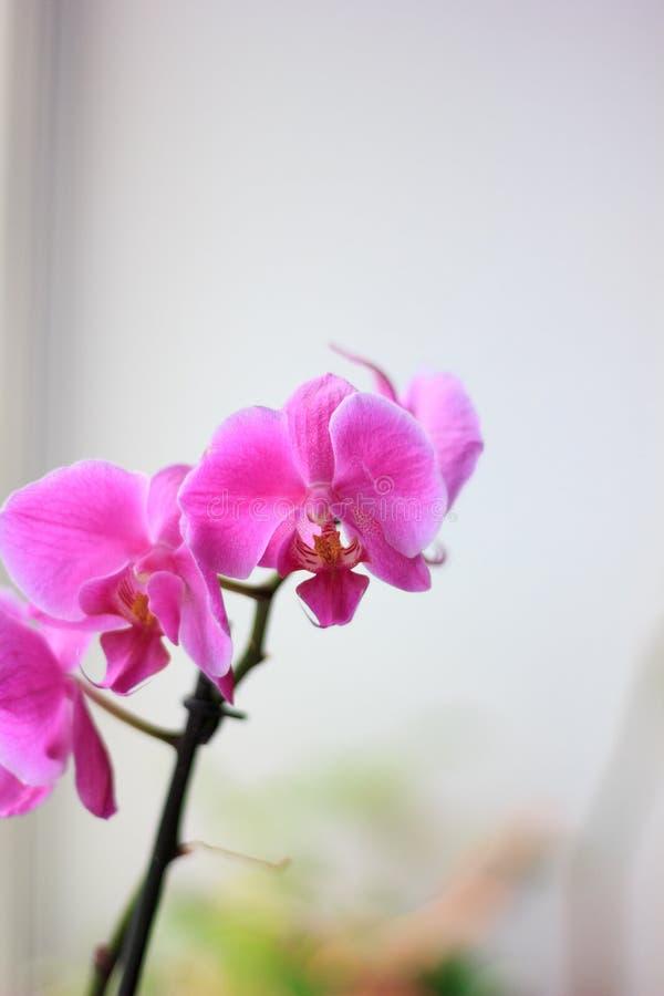 Όμορφα πορφυρά λουλούδια phalaenopsis ορχιδεών orchid λουλουδιών στοκ φωτογραφίες με δικαίωμα ελεύθερης χρήσης