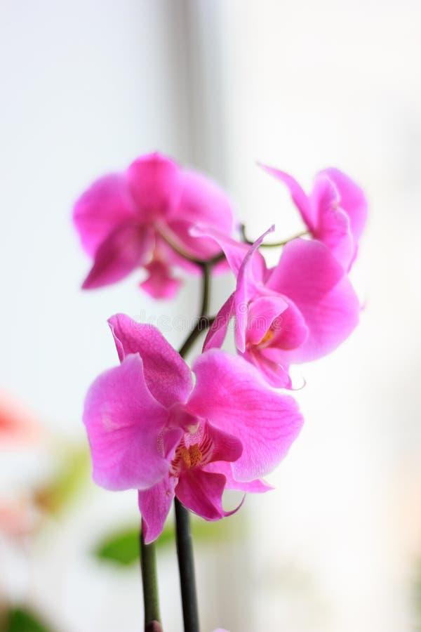 Όμορφα πορφυρά λουλούδια phalaenopsis ορχιδεών orchid λουλουδιών στοκ εικόνες με δικαίωμα ελεύθερης χρήσης
