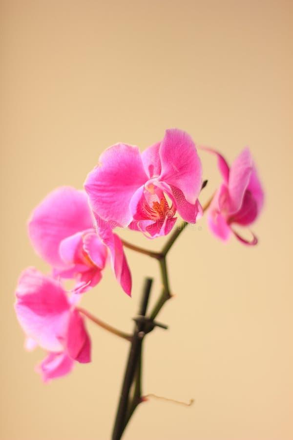 Όμορφα πορφυρά λουλούδια phalaenopsis ορχιδεών orchid λουλουδιών στοκ φωτογραφίες