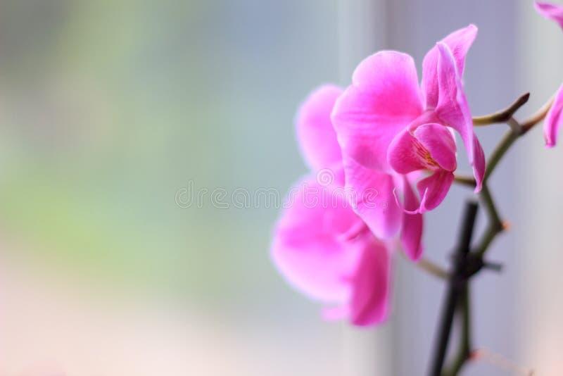 Όμορφα πορφυρά λουλούδια phalaenopsis ορχιδεών orchid λουλουδιών στοκ εικόνα με δικαίωμα ελεύθερης χρήσης