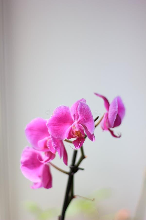Όμορφα πορφυρά λουλούδια phalaenopsis ορχιδεών orchid λουλουδιών στοκ εικόνες