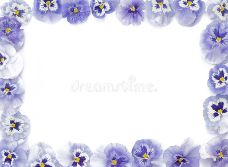 Όμορφα πορφυρά pansies που τακτοποιούνται σε ένα ορθογώνιο, στο μόριο στοκ εικόνα