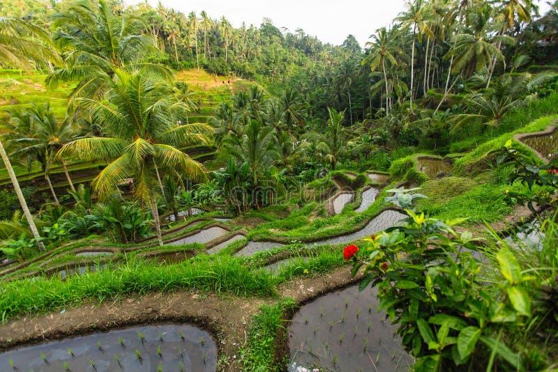 Όμορφα πράσινα πεζούλια ρυζιού στο νησί του Μπαλί Φύση στοκ εικόνα