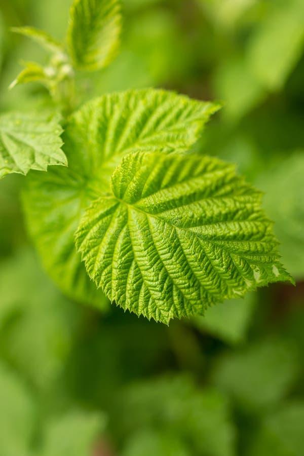 Όμορφα πράσινα φύλλα στα σμέουρα στη φύση στοκ φωτογραφίες