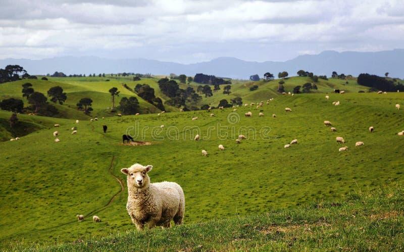όμορφα πρόβατα βουνών λιβαδιών κοπαδιών στοκ φωτογραφία με δικαίωμα ελεύθερης χρήσης