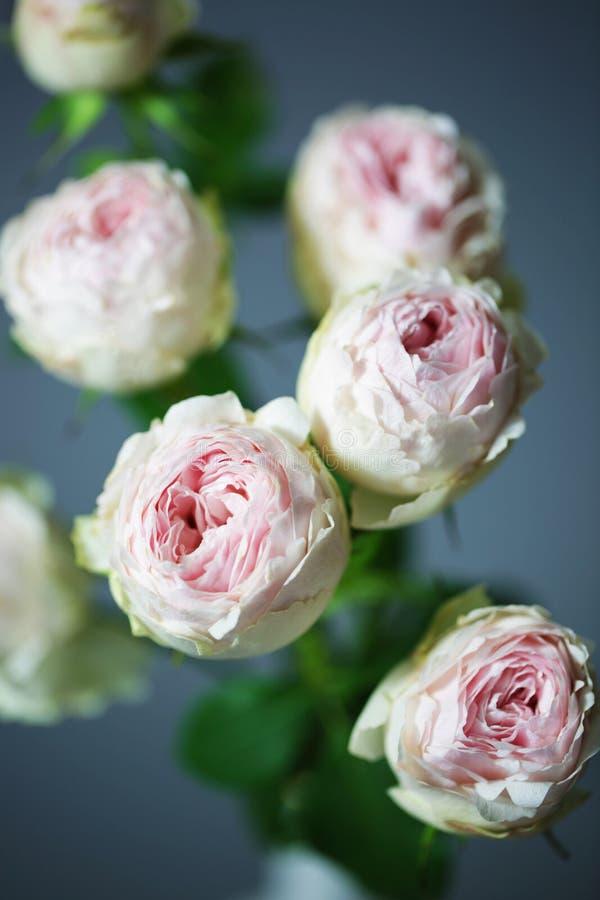 Όμορφα ροζ τριαντάφυλλα κλείνουν τα μακροσκελή λουλούδια στοκ εικόνες με δικαίωμα ελεύθερης χρήσης