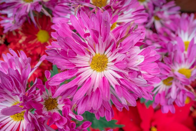 Όμορφα ρόδινα λουλούδια μαργαριτών για το υπόβαθρο στοκ εικόνα με δικαίωμα ελεύθερης χρήσης
