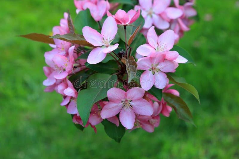 Όμορφα ρόδινα λουλούδια του ανθίζοντας δέντρου μηλιάς άνοιξη στο υπόβαθρο της πράσινης χλόης στοκ εικόνα