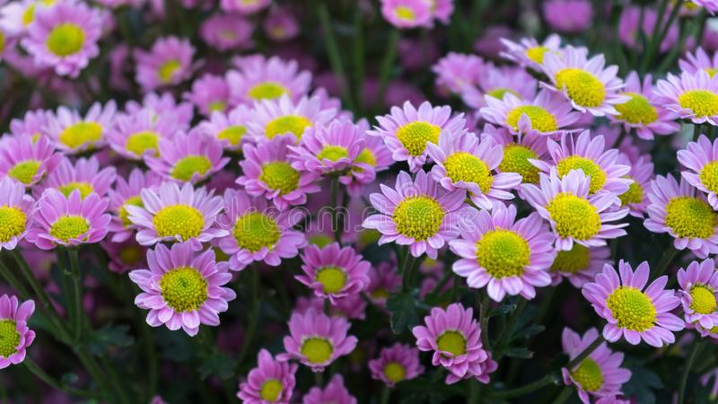 Όμορφα ρόδινα λουλούδια χρυσάνθεμων στο θερινό κήπο στοκ φωτογραφίες