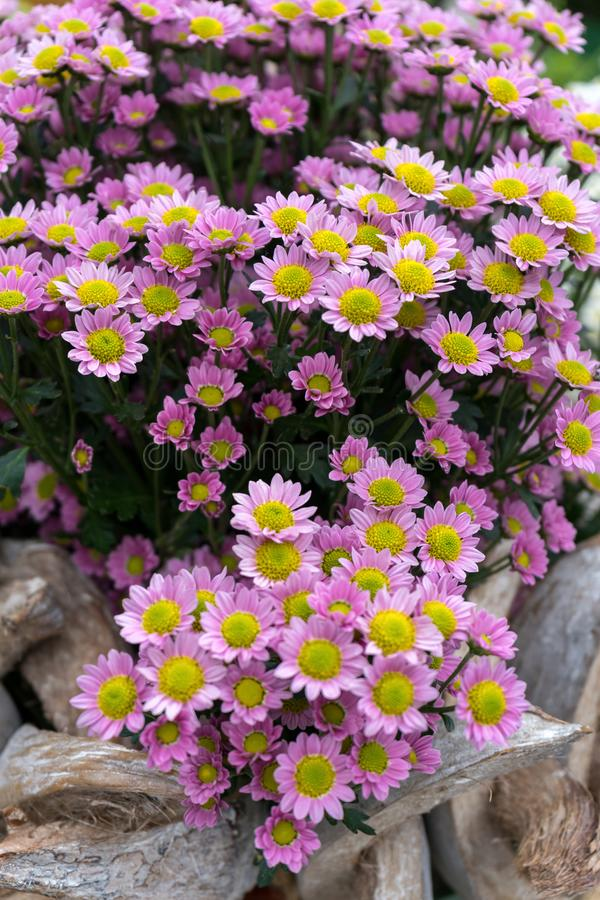 Όμορφα ρόδινα λουλούδια χρυσάνθεμων στο θερινό κήπο στοκ φωτογραφίες με δικαίωμα ελεύθερης χρήσης