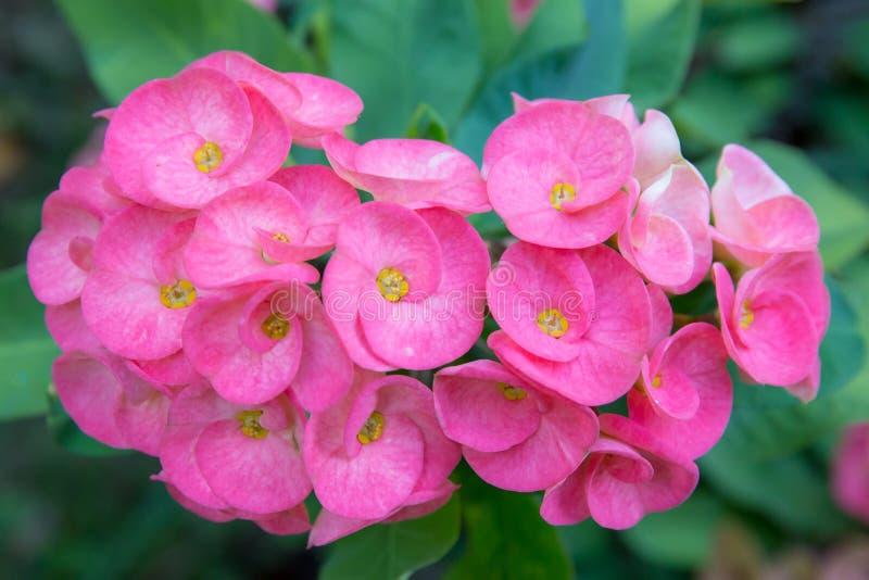 Όμορφα ρόδινα λουλούδια POI Σηάν ή κόκκινα λουλούδια αγκαθιών Χριστού στοκ εικόνα με δικαίωμα ελεύθερης χρήσης