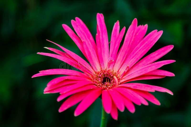 Όμορφα ρόδινα υβριδικά λουλούδια μαργαριτών Gerbera ή Barberton στοκ φωτογραφίες με δικαίωμα ελεύθερης χρήσης