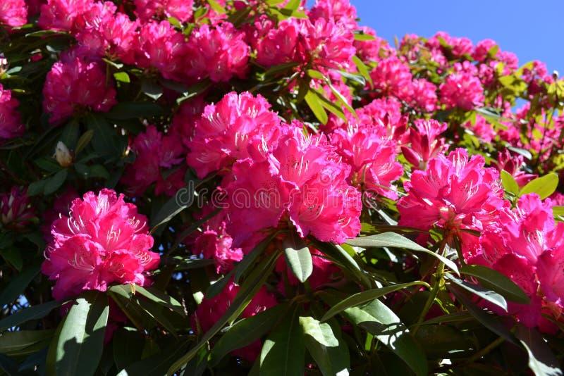 Όμορφα ρόδινα rhododendron λουλούδια που ανθίζουν την πρώιμη άνοιξη στη λίμνη Como στοκ εικόνες