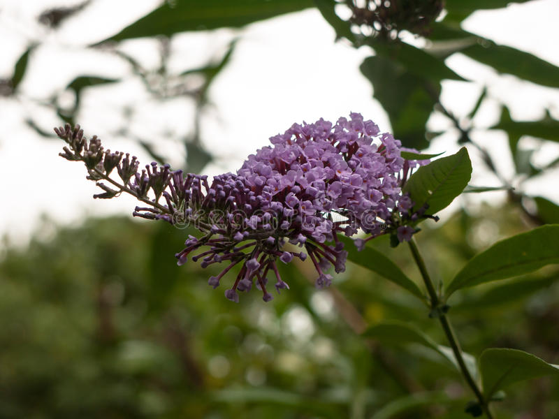 Όμορφα ρόδινα φρέσκα ιώδη κεφάλια λουλουδιών που αυξάνονται στο δέντρο έξω στοκ εικόνες