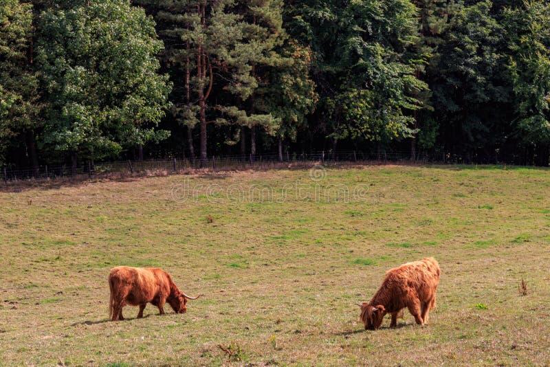 Όμορφα σκωτσέζικα βοοειδή ορεινών περιοχών στοκ φωτογραφία
