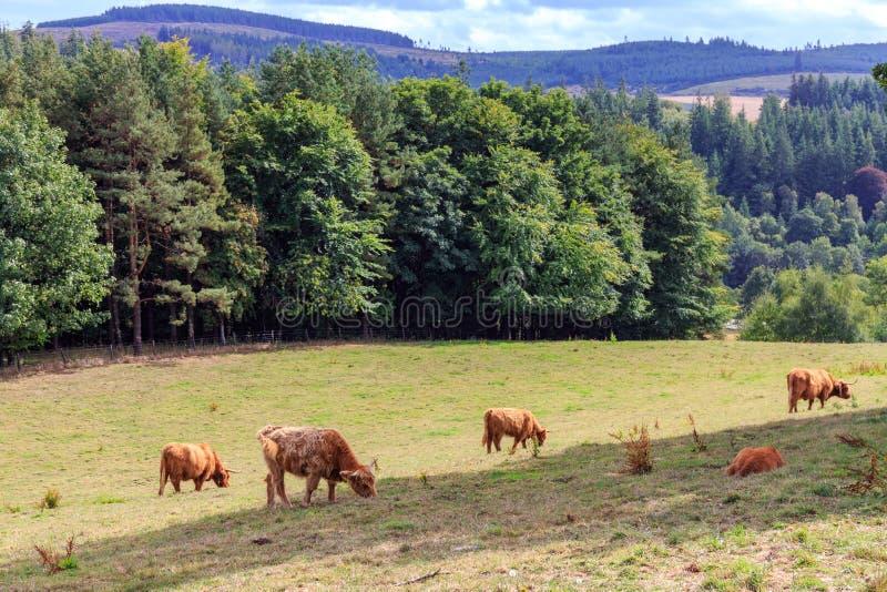 Όμορφα σκωτσέζικα βοοειδή ορεινών περιοχών στοκ εικόνες με δικαίωμα ελεύθερης χρήσης