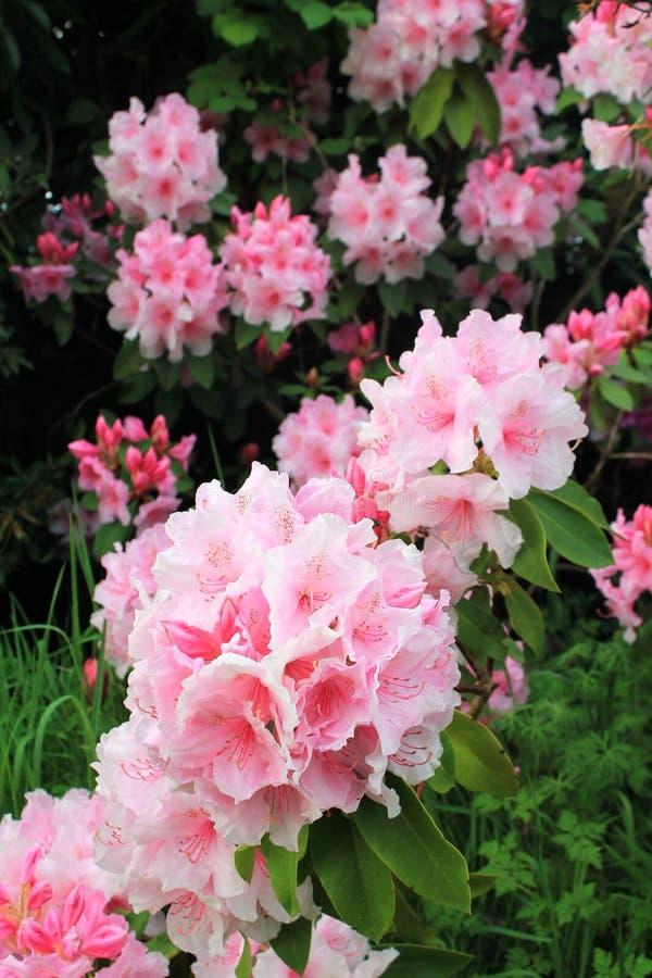 Όμορφα σμήνος ανοιξιάτικων ανθέων ροζ ροδόδενδρου στοκ φωτογραφίες με δικαίωμα ελεύθερης χρήσης
