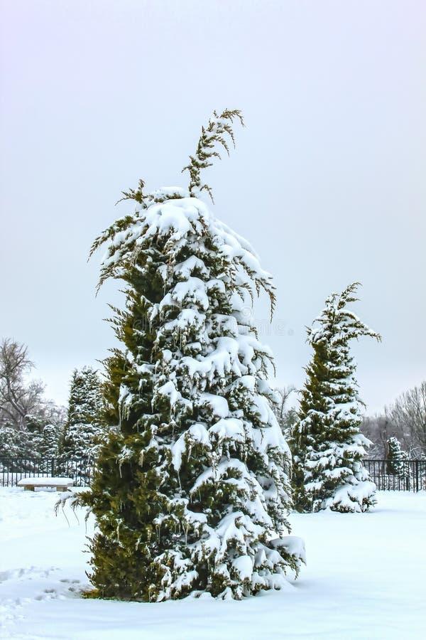 Όμορφα σταγονίδια αειθαλή με τη μία πλευρά βυθισμένη σε βαρύ χιόνι στο πάρκο με πάγκο και άλλα δέντρα πίσω - σχεδόν μονοτονικά στοκ φωτογραφία