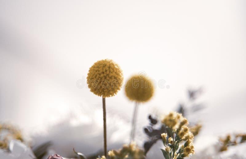 Όμορφα στενά επάνω δύο κίτρινα λουλούδια στο άσπρο υπόβαθρο στοκ φωτογραφία
