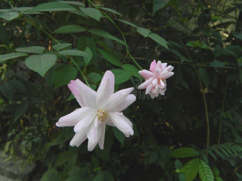 Όμορφα τριαντάφυλλα με τα πράσινα φύλλα στοκ εικόνες με δικαίωμα ελεύθερης χρήσης