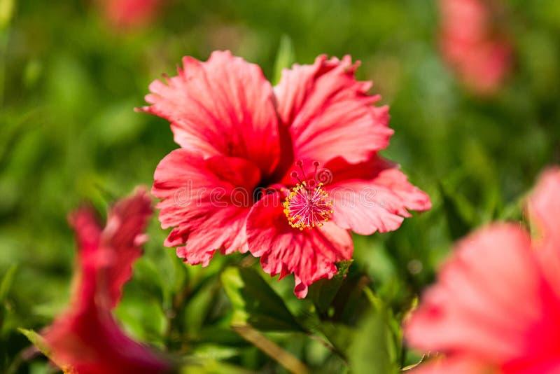 Όμορφα τροπικά λουλούδια, ο Μπους strizhennom ratut πολλά φωτεινά juicy χρώματα στα καυτά κλίματα τροπικός στοκ φωτογραφία με δικαίωμα ελεύθερης χρήσης