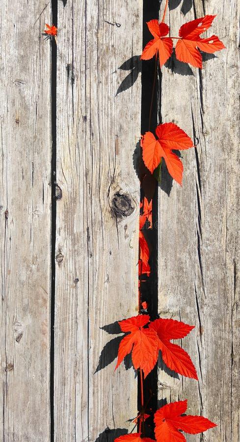 Όμορφα φθινοπωρινά φύλλα σε φόντο παλιών ξύλινων σανίδων, επάνω όψη, tablet για κείμενο στοκ εικόνα