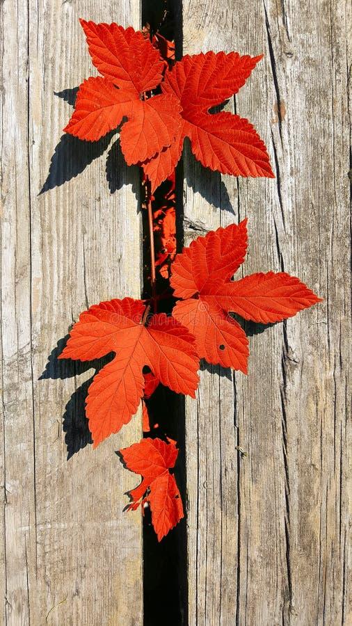 Όμορφα φθινοπωρινά φύλλα σε φόντο παλιών ξύλινων σανίδων, επάνω όψη στοκ εικόνες