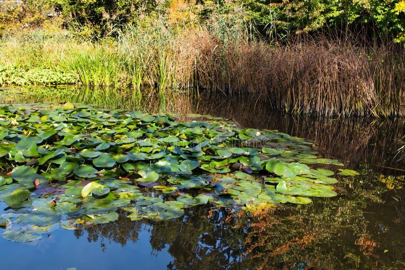 Όμορφα φύλλα ενός κρίνου νερού στη λίμνη στοκ εικόνες
