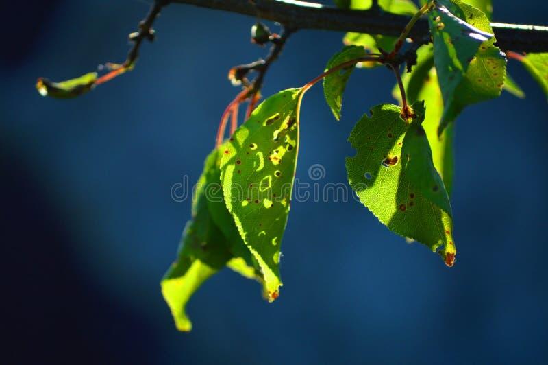 Όμορφα φύλλα του βερίκοκου Φωτεινός ήλιος και σκούρο μπλε υπόβαθρο στοκ φωτογραφίες
