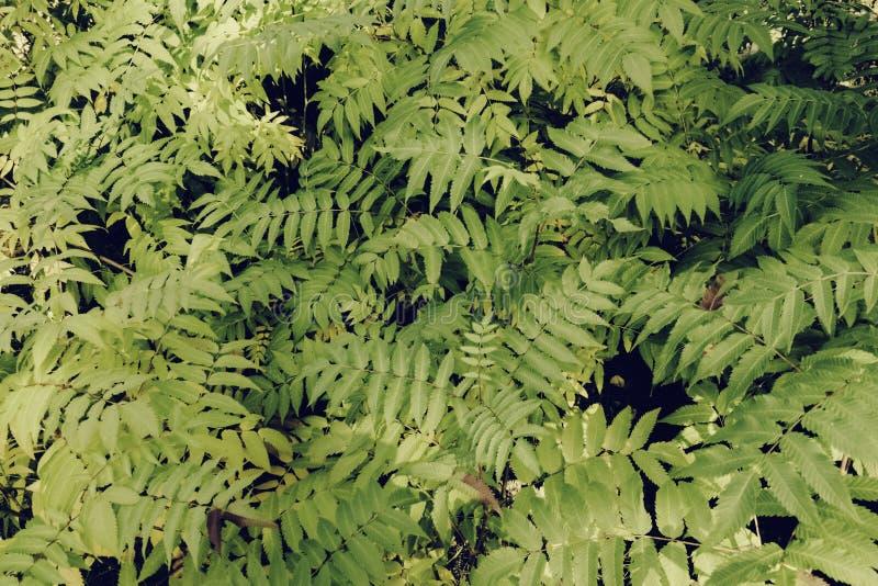 Όμορφα φύλλα φτερών, πράσινο φύλλωμα, φυσικό floral υπόβαθρο φτερών στοκ φωτογραφίες