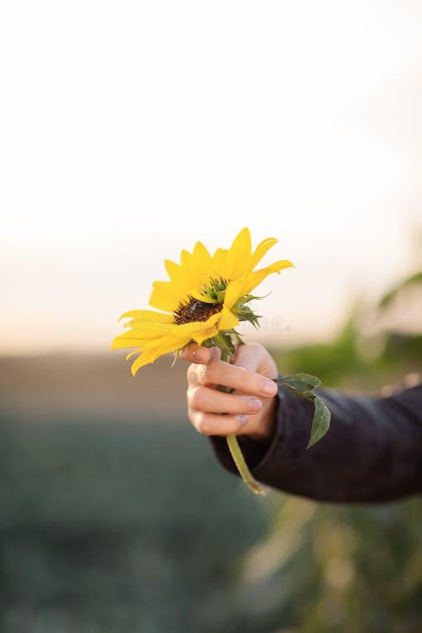 Όμορφα χέρια γυναικών που κρατούν τον ηλίανθο στο φως του ήλιου βραδιού στοκ εικόνες