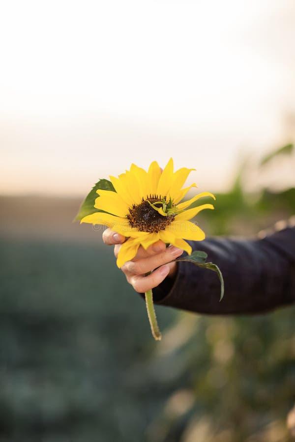 Όμορφα χέρια γυναικών που κρατούν τον ηλίανθο στο φως του ήλιου βραδιού στοκ εικόνα
