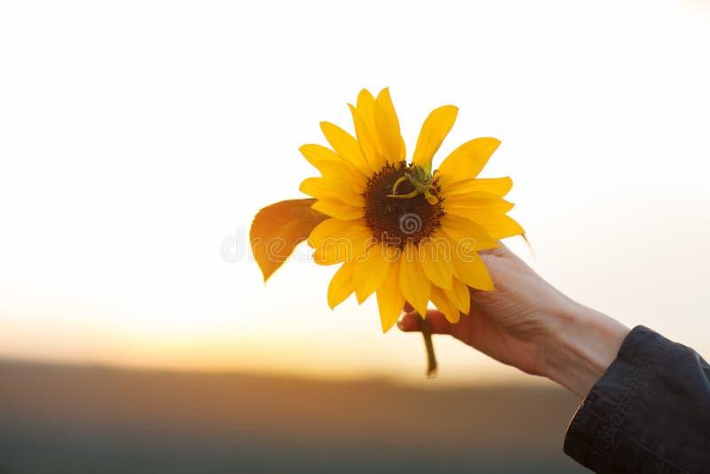 Όμορφα χέρια γυναικών που κρατούν τον ηλίανθο στο φως του ήλιου βραδιού στοκ φωτογραφία με δικαίωμα ελεύθερης χρήσης