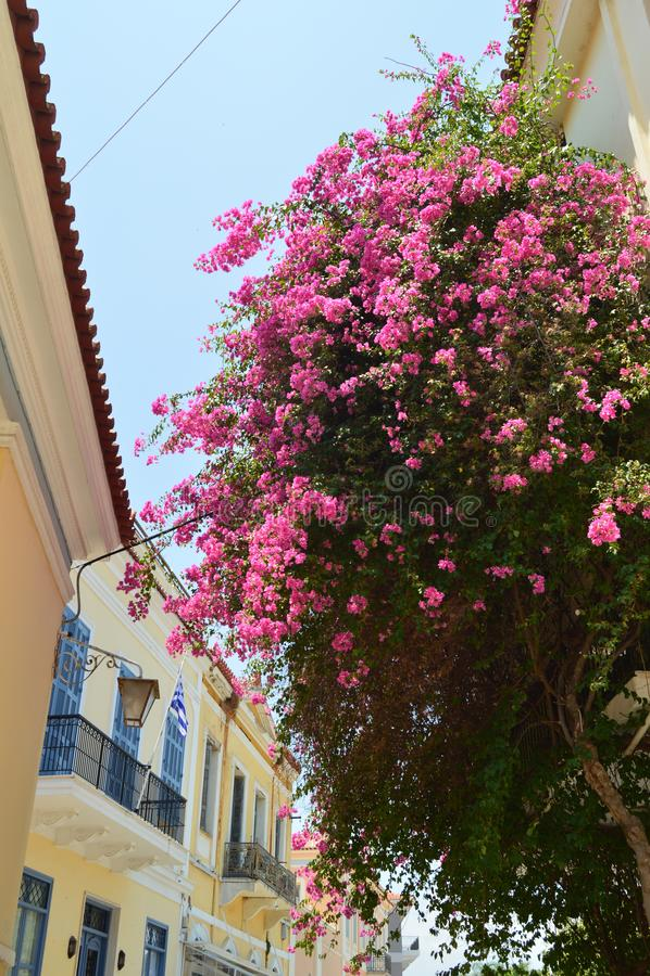Όμορφα χαρακτηριστικά τριαντάφυλλα λουλουδιών της Ελλάδας Αρχιτεκτονική, ταξίδι, τοπία, κρουαζιέρες στοκ εικόνες με δικαίωμα ελεύθερης χρήσης