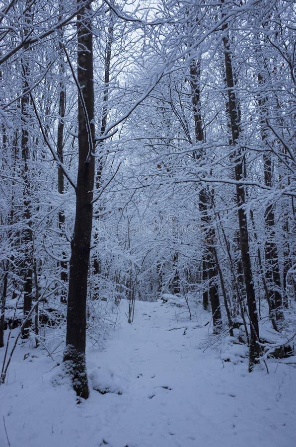 Όμορφα χιονώδη δέντρα και δάσος στη Σουηδία Σκανδιναβία στο βράδυ σούρουπου στοκ φωτογραφία με δικαίωμα ελεύθερης χρήσης