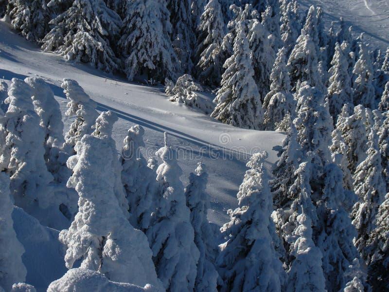 Όμορφα χιόνια καλυμμένα με κωνοφόρα δέντρα τις ηλιόλουστες μέρες στοκ φωτογραφία