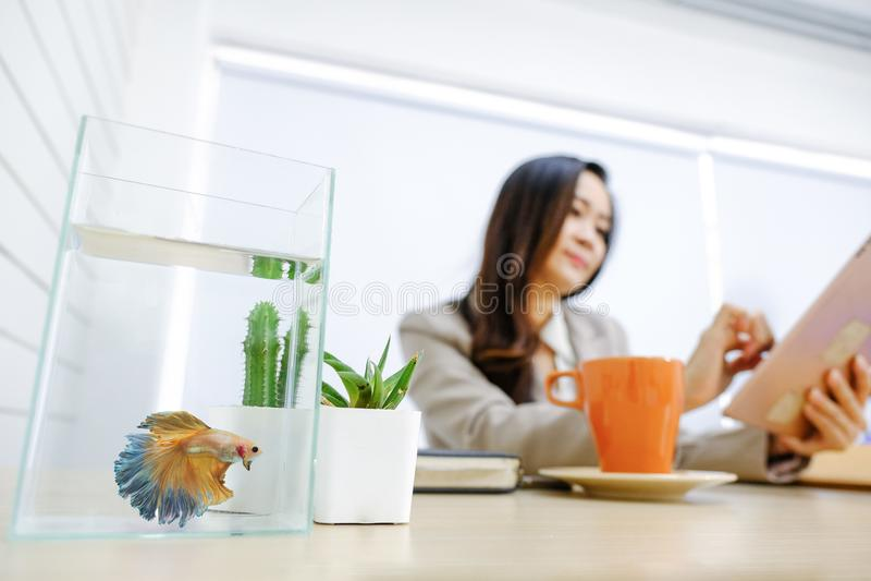 Όμορφα ψάρια πάλης Betta splendens χρυσά Betta σιαμέζα στοκ εικόνα