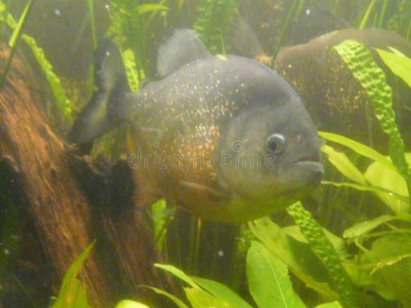 Όμορφα ψάρια piranha στο ενυδρείο με το φωτισμό στοκ φωτογραφίες με δικαίωμα ελεύθερης χρήσης
